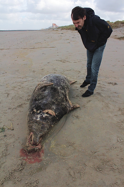 Picture of Halichoerus grypus taken on 2014-10-22 at Beach of Middelkerke - © RBINS